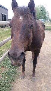 Gelding for Lease