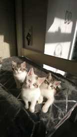 Maincoon&Persian xx kittens for sale!