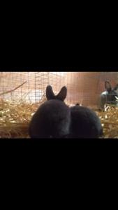 Three Mini Rex baby rabbits for sale