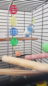 Blue Male Parakeet - Budgie with Cage, Food and Water Feeder