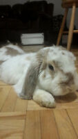 adorable litter trained lop
