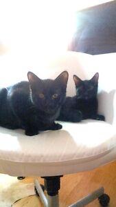 two black cats Edmonton Edmonton Area image 2
