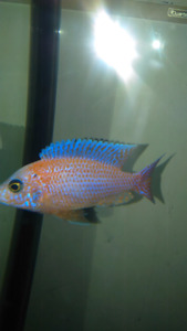 dragon blood male for sale