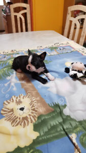 Chiots Boston-Terrier