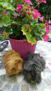 LONG HAIRED SHOW GUINEA PIGS, 2 MALE BROTHERS. BABIES!!