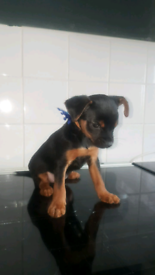 Yorkshire terrier puppy male