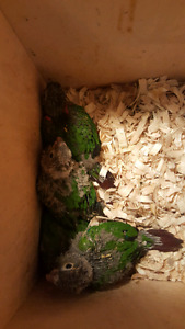 Hand Raised babies of Conure .