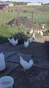 Laying chickens forsale