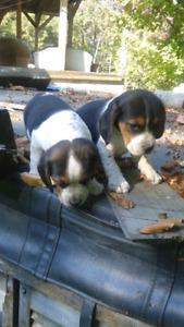 Chiots beagle x bluetick