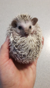 Baby Hedgehogs!! coming soon!!