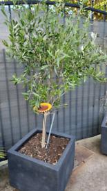 Wonderful Olive Tree in pot