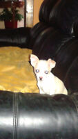 CHIHUAHUA, going to be small!!