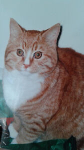 Large Orange Cat Missing in Murray River