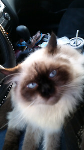 Male Himalayan for sale