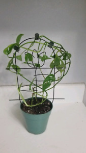 Swiss Cheese Plant | Kijiji in Ontario  - Buy, Sell & Save with