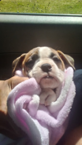 Valley Bulldog puppy ( SOLD )