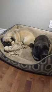 duo de chiens cherchant une nouvelle famille
