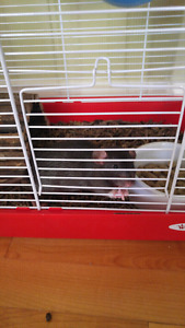 Rat male+ cage