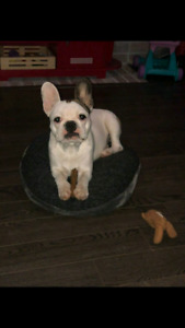 French Bulldog - female, 10 months old