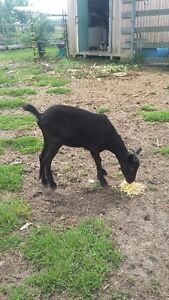 Black young female goat