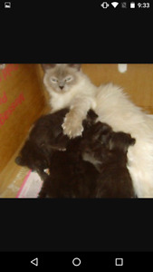 Maine coon Ragdoll cross kittens