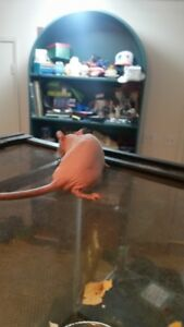 RATTIES --FURLESS RATS FOR SALE