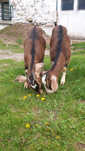 3 Mother Goats