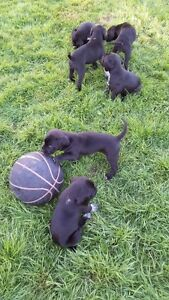 Boxer-German Shorthaired Pointer puppies