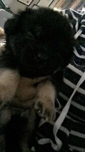 2 pug terrier puppies for sale