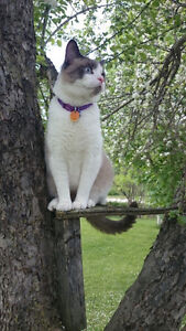 Missing!!! Male grey and white cat Kawartha Lakes Peterborough Area image 5