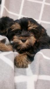 Yorkie | Adopt Dogs & Puppies Locally in Alberta | Kijiji