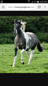Paint mare horse