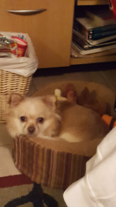 Long haired Chihuahua looking for a mate!