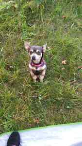 Looking for male Chihuahua for companionship