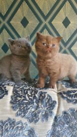SOLD British Shorthair kittens
