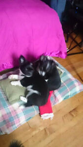 Chihuahua puppies black and white long coat