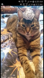 Lost female tabby cat in Parry Sound.