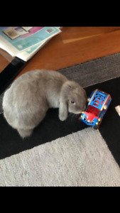 1 year old grey holland lop with shots potty trained.