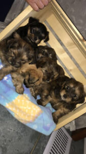 Shorkie puppies for sale!