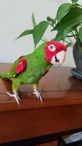 Cherry Crown Conure