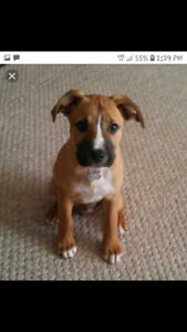 Wanted boxer/lab puppy
