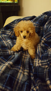 GORGEOUS PURE-BRED TOY POODLE PUPPIES!!!!!