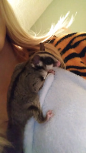 Three Rescue Sugar Gliders