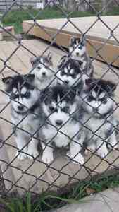husky puppy and lab for rehoming