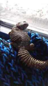 uromastyx for sale lizard and set up