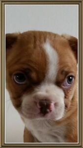 Boston Terrier Male & Females Ready to Go Home - Hlth  Guarantee
