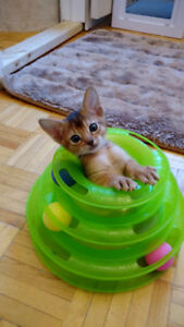 Adorables chatons Abyssins de la Chatterie ChAbyMiou!