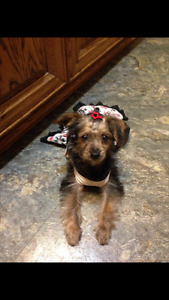 small yorkie x poodle looking for a good home