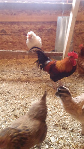 Large red dorking roosters
