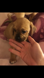 Puggle's  are Great with kids!